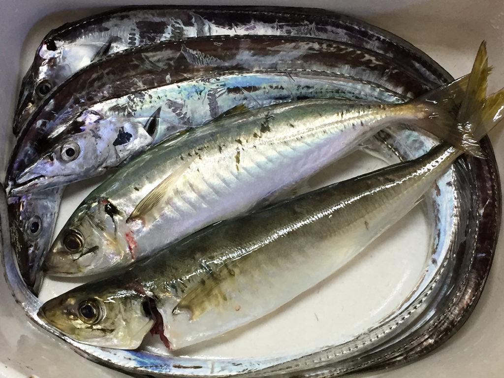 タチウオは刺身とムニエル、アジは竜田揚げでいただきました。